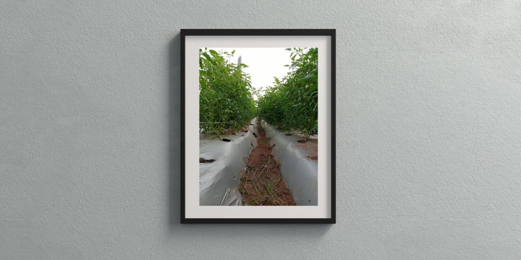 sustainable tomato production